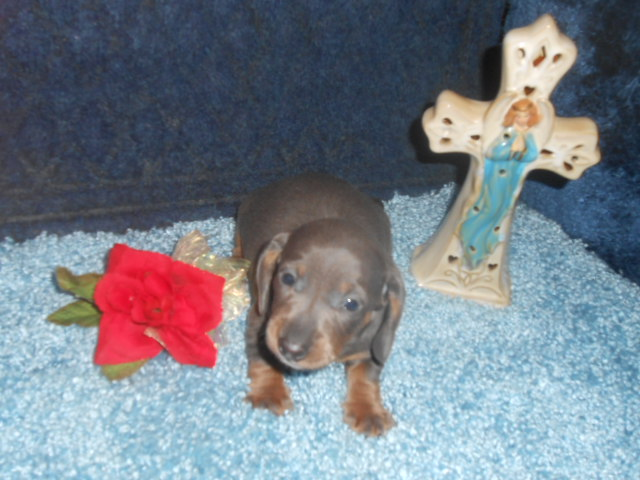 Willow's 1st Short Haired, AKC & CKC Registered, Blue & Tan Male is Sold to Savannah.