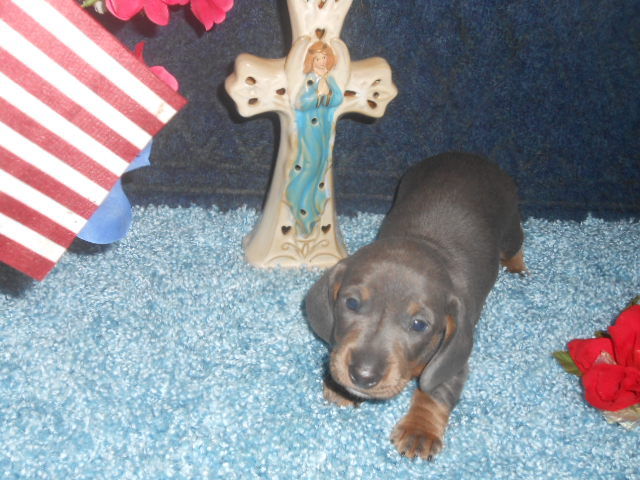 Willow's 2nd AKC and CKC Registered, Blue and Tan Male is Sold to Theresa.