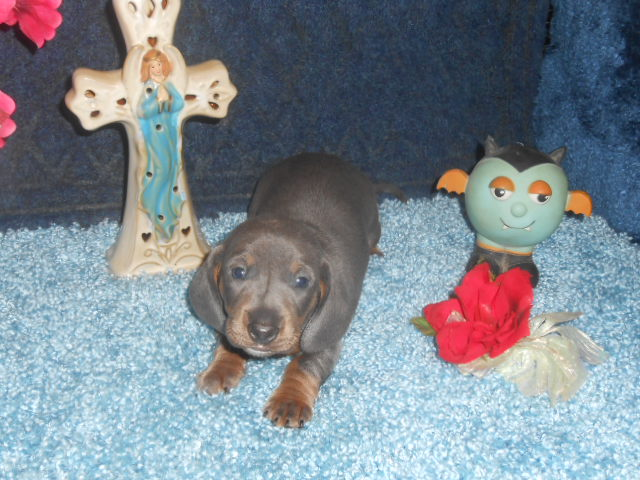 Crystal Gale's little Short Haired AKC and CKC Registered Female is Sold to Mary.