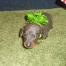 Sonya's Short Haired, AKC and CKC Registered, Blue and Tan Male is Sold to Hilda.