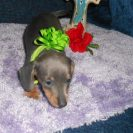 Sonya's Little, Short Haired, AKC and CKC Registered, Blue and Tan Female is Sold to Jane.