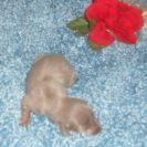 Sonya's 1st AKC and CKC Registered, Short Hair Isabella and Tan Male is Sold To Patti.