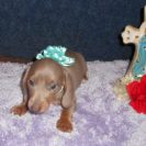 Sonya's 2nd Short Haired, AKC and CKC Registered, Isabella and Tan Male is Christine.