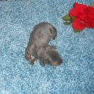 Sonya's Short Haired, AKC and CKC Registered, Blue and Tan Male is $1200.
