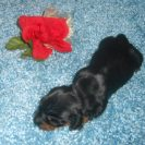 Gretchen's Short Haired AKC and CKC Registered, Black and Tan Male is Sold to Cree.
