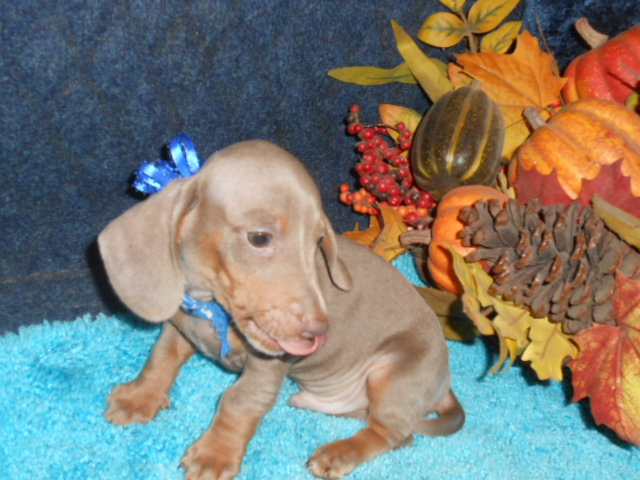 Sonya's 1st AKC and CKC Registered, Short Hair Isabella and Tan Male is Sold To Monica.