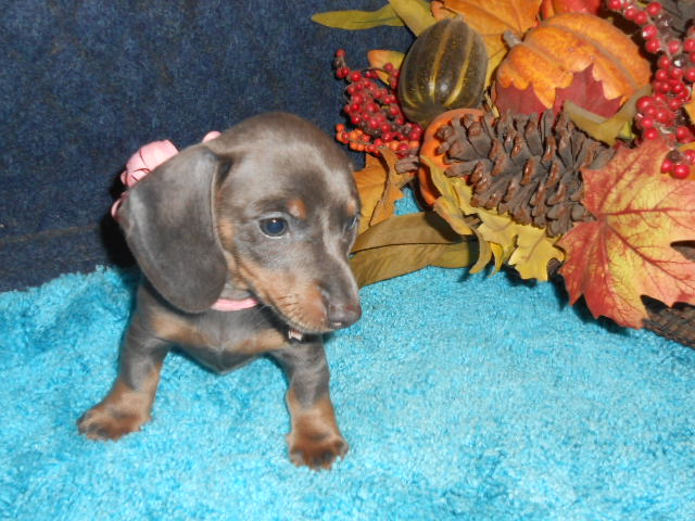 Gretchen's Short Haired, AKC and CKC Registered, Blue and Tan Female is Sold to Janice.