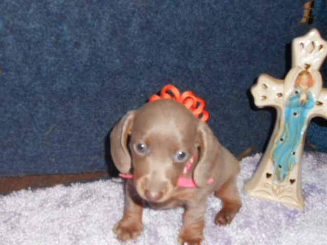 Gretchen's Short Haired, AKC and CKC Registered, Isabella and Tan Female is Sold to Christina.