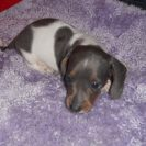 Jenny's Tiny, AKC and CKC, Short Haired Blue and Tan Piebald Male is Sold to LB.