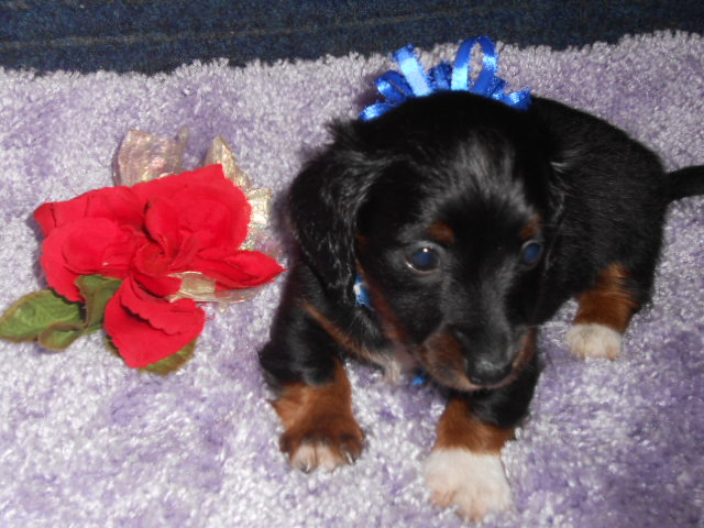 Jenny's Tiny, AKC and CKC , Longhair Black and Tan Piebald Male is Sold to Mary.