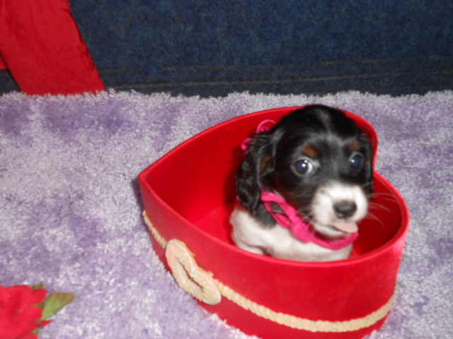 Jenny's Tiny, AKC & CKC, Long Haired Black and Tan Piebald Female is Sold to Catherine.