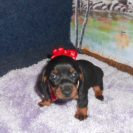 Jenny's Tiny, AKC and CKC Registered, Short Haired Black and Tan Female is Sold to Joseph.