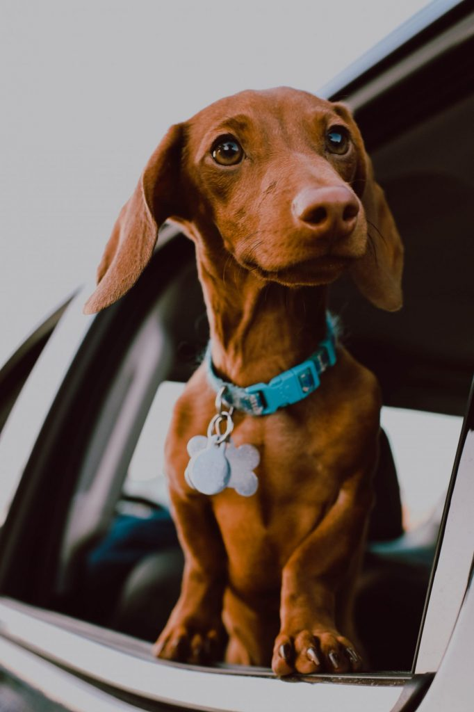 4 Things You Should Know Before Adopting a Dachshund
