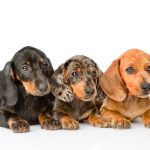 How to Prepare Your Home for a Dacshund Puppy
