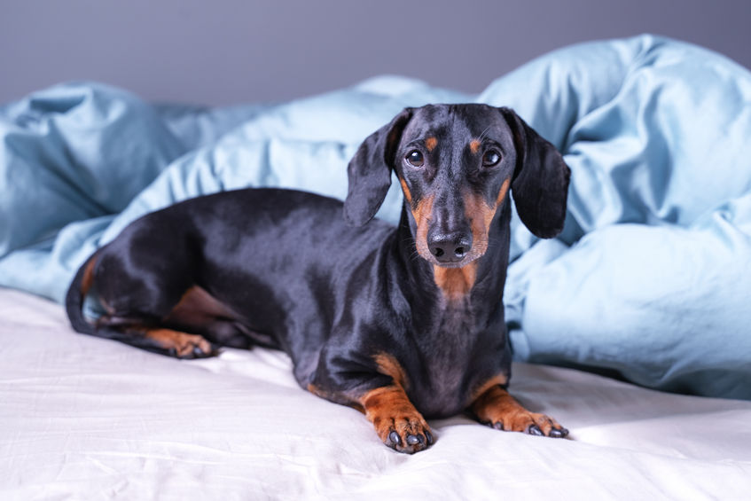 Why Do Dachshunds Dig at the Bed?